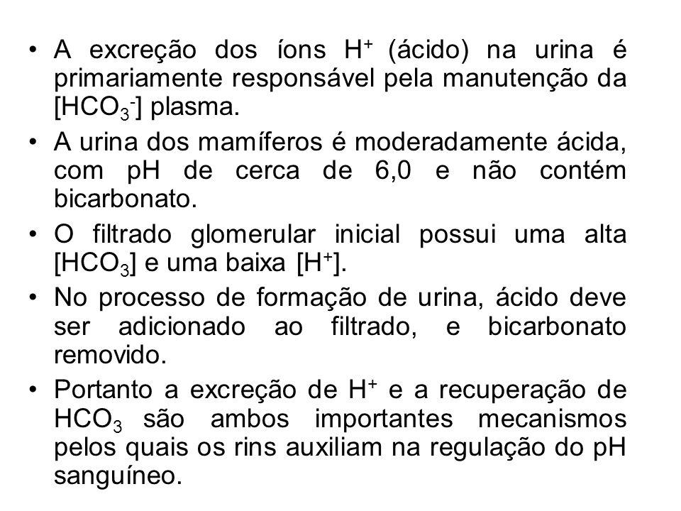 A excreção dos íons H+ (ácido) na urina é primariamente responsável pela manutenção da [HCO3-] plasma.
